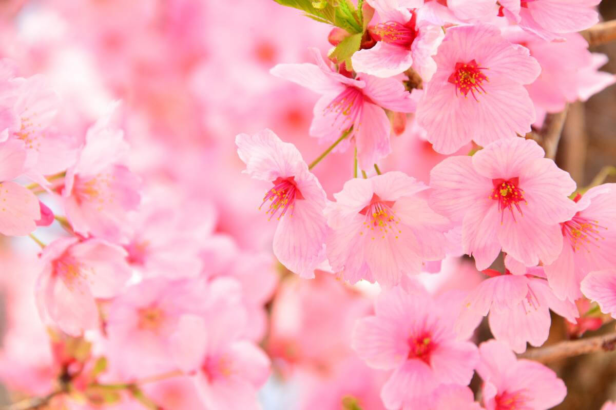 【母の日ギフト】桜